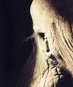 An animal-rights organization has offered to fly the director of the Alaska zoo to an elephant sanctuary in Tennessee so he could see for himself where their zoo's sick elephant could go if she left Alaska.